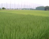 Rice Field  (half Be-1, half not)