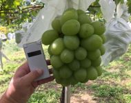 Ginormous Grapes!