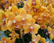 Customer's beautiful orange orchid