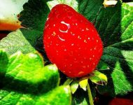 Hydroponic Strawberries