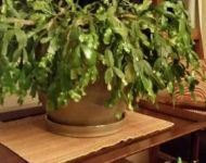 Lucy-Christmas Cactus