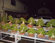 Ancient Satsuki Azalea Bonsai - night time