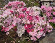 Azaleas & Rhododendrons Gallery