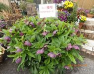 Hellebore (Christmas Rose)