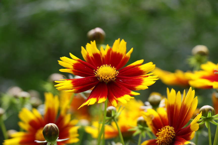 Gold and Bronze Coreopsis