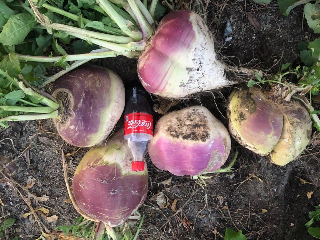 GIANT purple-top turnips